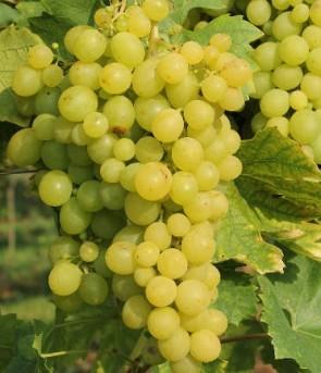 Szőlőskertek királynője muskotály csemegeszőlő