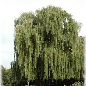 Szomorúfűz Salix alba Tristis 80-100 cm