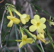 Téli jázmin Jasminum nudiflorum talajtakaró cserje