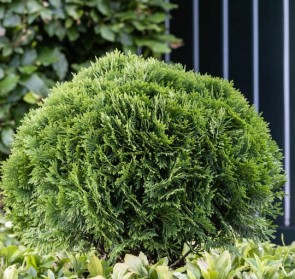 Törpe gömb tuja Thuja occidentalis Danica törpefenyő, Forrás: Dehner Garten-Center Flickr