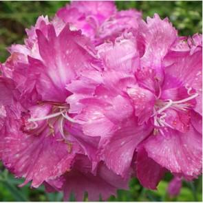 Tollas szegfű lilás rózsaszín Dianthus plumarius Warden Hybrid - évelő virág