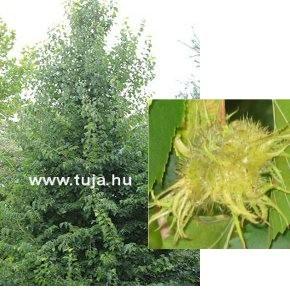 Fák, Díszfák Törökmogyoró termés - Corylus colurna