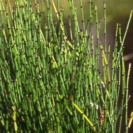 Törpe zsurló Equisetum scripoides cserepes tavi növény