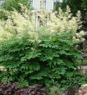 Erdei tündérfürt virág - Aruncus dioicus