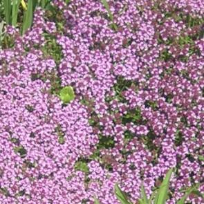 Vad kakukkfű - Thymus serpyllum