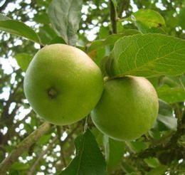 Vadalma - Malus sylvestris szabadgyökerű gyümölcsfa vad gyümölcsök