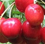 Van cseresznyefa - Cseresznye fajták - Gyümölcsfa
