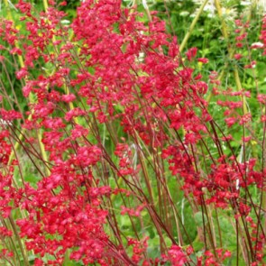 Vörös virágú tűzeső - Heuchera sanguinea - Sziklakerti évelők