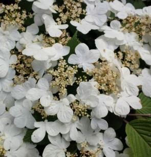 Redős levelű bangita - Viburnum plicatum Mariesii