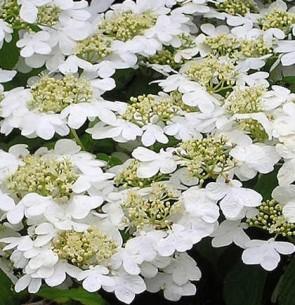 Redős levelű bangita - Viburnum plicatum Watanabe