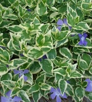 Tarka levelű nagy télizöld meténg Vinca major variegata