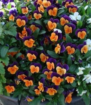 Szarvacskás árvácska narancs lila Viola cornuta Orange Purple Wing