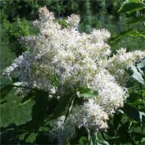 Virágos kőris virágzat - Fraxinum ornus