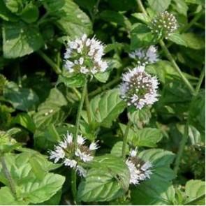 Vízi menta Mentha aquatica - cserepes tavi növény