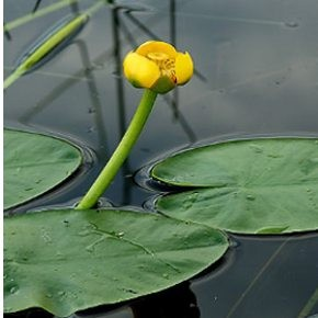 Sárga Vízitök - Nuphar lutea