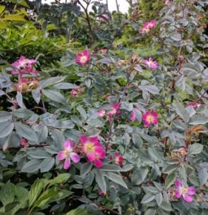 Vörös levelű rózsa Rosa glauca cserepes