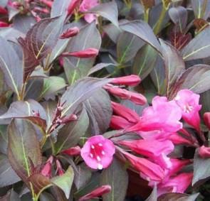 Bordó levelű rózsalonc - Weigela Alexandra